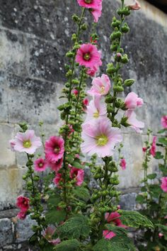 If you love cottage garden flowers, try growing hollyhocks. They add great height to a border and bloom all summer into early fall. Growing Hollyhocks, Hollyhocks Flowers, Growing Flowers, Beautiful Flowers Garden, Beautiful Gardens, Photo Rose, Garden Cottage, Plantation, Dream Garden