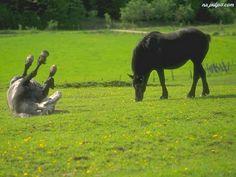 biały, łąka, konie, Koń, czarny