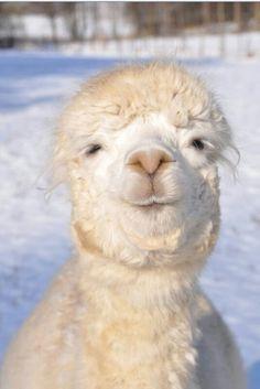 Alpakas are wonderful animals. They are so cute!
