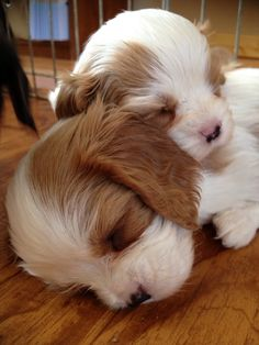 ♥ little cavaliers puppies Kittens And Puppies, Cute Puppies, Cute Dogs, Like Animals, Baby Animals, Adorable Animals, Puppy Pictures, Animal Pictures, Sleeping Animals