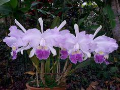 Cattleya lueddemanniana coerulea - Flickr - Photo Sharing!