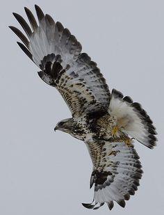 Hawk 1 small   Jeremy Weber   Flickr