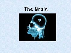 The Brain. Ways we Study the Brain Accidents Lesions EEG CAT Scan PET Scan MRI… Brain Structure, Structure And Function, Corpus Callosum, Visual Cortex, Understanding Emotions, Ap Psychology, Cerebral Cortex, Frontal Lobe, Limbic System
