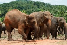 Pinnawela - słynny sierociniec dla słoni, a w nim między innymi słoń bez stopy - jednak nauczył się z tym żyć i utrzymuje równowagę /  Rozkręcamy http://tripek.pl - jeżeli kochasz podróże to zarejestruj się na http://tripek.pl i dodaj swoje zdjęcia z podróży lub ciekawe lokalizacje, będzie nam bardzo miło :)