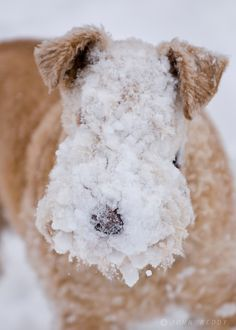 dogs in snow | Lakeland Terrier dog in snow | John Reddy Photography