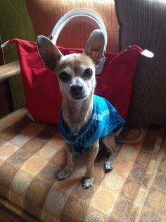 Chihuahua es max