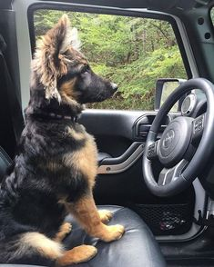 Working dogs active around the world - German Shepherd - Page 14 of 20 - Gloria Love Pets German Shepherd Memes, German Shepherd Pictures, Baby German Shepherds, Cute German Shepherd Puppies, Blue German Shepherd, Black Shepherd, Cute Funny Animals, Cute Baby Animals, Cute Animal Pictures