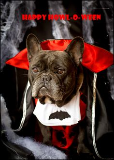 Happy Howl-O-Ween! French Bulldog In a Dracula Costume.