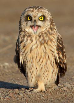 Short-eared Owl by Steve Gifford