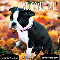 Wecome, Fall!  Follow us at SimmonsVet.com, Facebook Simmons Veterinary Hospital, Twitter @Simmons Veterinary Hospital and LinkedIn Dr. Ken Simmons.