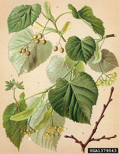 the tilia tomentosa, silver linden, lime