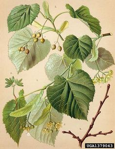the tilia tomentosa, silver linden, lime