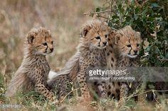 Three cheetah (Acinonyx jubatus) cubs about a month old, Serengeti National Park, Tanzania, East Africa, Africa