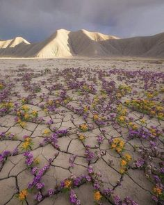 Amazing desert flowers in the Atacama Desert, Chile Lago Baikal, Dame Nature, Desert Flowers, Desert Plants, Flowers Nature, Nature Images, Geology, Wonders Of The World, Beautiful Places
