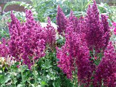 Salvia nemorosa 'Schwellenburg' - luumuryhmään