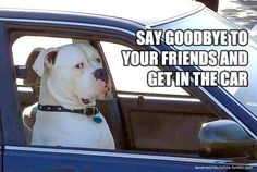 American Bulldog Our Chance used to ride in the front seat just like this and people always did a double take and then laughed and laughed!