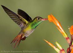 Rufous-tailed Hummingbird - Ecuador Hummingbirds - Ralph Paonessa Photography Workshops