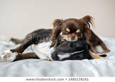 Stock Photo Happy Chihuahua Puppy Running Through Grass