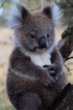 Qui n'a pas rêver de tomber sur un koala en Australie ?