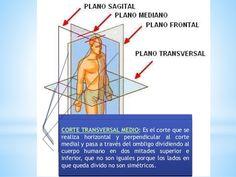 CORTE CORONAL: Es el corte que se realiza a través de la línea longitudinal…