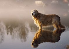 Nothing like the wisdom and sweetness of an old Golden...♥