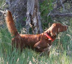#DOGSUnlimited #irishsetter #gundog Hunting Stuff, Hunting Dogs, Red Dog, Rifles, Dog Breeds, Gears, Irish, Puppies, Bird