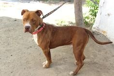 RODNEY (07302015M-D01) located in Delano, CA has 8 days Left to Live. Adopt him now!