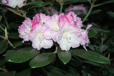 Rhododendron 'Pink Sherbet'