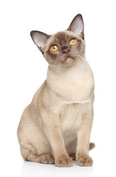 Burmese Cat chocolate champagne ...........click here to find out more http://googydog.com Tap the link Now -  Luxury Cat Gear - Treat Yourself and Your CAT!  Stand Out in a Crowded World!