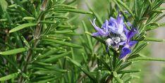 Conheça esta planta fortemente aromática e muito útil na horta.