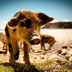 Pig at Lake Titicaca #lake #titicaca #titiqaqa #peru #bolivia #andes #exploya #travel #startup #inspiration #backpacker #backpacking #teacuppig #teacup #southamerica #puno #lapaz #uros