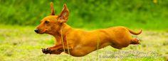Listado de Razas de Perros y Gatos. Todos los tipos...: Raza de Perro Dachshund, Teckel o Perro Salchicha ...