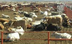 Extraoficial: Decomisan en Jiménez trailer con 106 cabezas de ganado propiedad de César Duarte | El Puntero