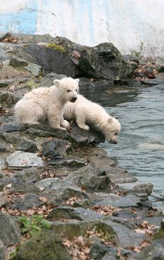 Though they are cuddly creatures when young, polar bear babies grow up to be ferocious predators. They are controversial zoo inhabitants, as many conservationists argue that it's unnatural to breed these violent bears in zoos, rather than in their natural habitat. However, that habitat is swiftly disappearing as the polar bear's home %u2013the arctic ice %u2013 is diminishing rapidly due to climate change.