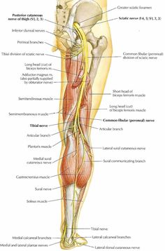 Sciatic Nerve: large nerve in humans & other animals; beings in lower back & runs through the buttock & down the lower limb; longest & widest single nerve in human body; supplies nearly the whole of the skin of the leg, muscles of back of thigh, and those of the leg and foot; derived from spinal nerves