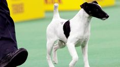 Adam, a smooth fox terrier and winner of the terrier group, is shown during the 137th Westminster Kennel Club dog show, Tuesday, Feb. 12, 2013, at Madison Square Garden in New York.(AP Photo/Frank Franklin II)