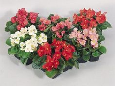 200 Pelleted Begonia Seeds Super Olympia Mix BULK SEEDS #begonia