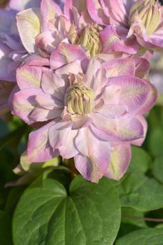 Innocent Blush Clematis. Double up facing pink with yellow markings