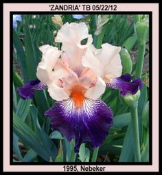 My friend and iris hybridizer, Don Nebeker, introduced this iris in 1995. Enjoy.