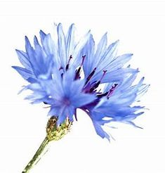 Cornflower image taken by nature photographer Richard Cottle. Read more about the herbal skincare properties of cornflower at www. Botanical Flowers, Botanical Prints, Watercolour Painting, Watercolor Flowers, Blue Flowers, Wild Flowers, Paint Cards, Art Floral, Flower Art