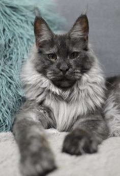 Sylvester is my name maine coon love мейн кун, большие кошки Pretty Cats, Beautiful Cats, Animals Beautiful, Cute Animals, Wild Animals, Baby Animals, Funny Animals, Cute Kittens, Cats And Kittens