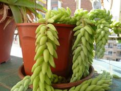 Muy fácil de cultivar, es realmente admirable por sus hojas gruesas y largas. ¡Quedará estupenda en macetas colgantes!