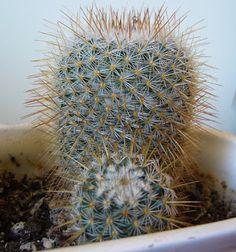 Plantas para hombres: Mammillaria geminispina