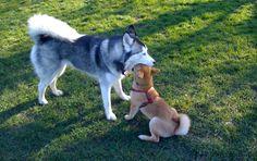 Siberian Husky and Shiba Inu
