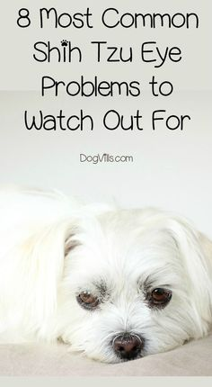 Do you know these ei Do you know these eight most common Shih Tzu eye problems that you need to watch out for? Check them out and keep your pups vision healthy! Shih Tzu Hund, Shih Tzu Puppy, Havanese Puppies, Dogs And Puppies, Bichon Frise, Yorkies, Shiz Tzu, Pekinese, Dog Health Tips