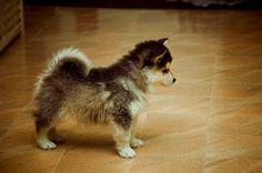 Pomsky! A cross between a Pomeranian and Husky. So cute!
