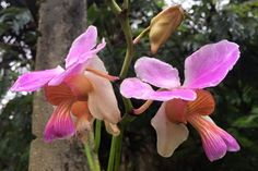 Vanda teres - Esta orquídea,