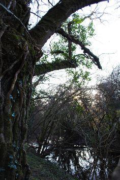 Oak in our garden