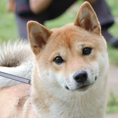 Shiba Inu photos and wallpapers. The beautiful Shiba Inu pictures Puppy Pictures, Dog Photos, Husky Tumblr, Cute Puppies, Cute Dogs, Corgi Puppies, Hachiko, Japanese Dogs, Chiba