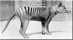 Tigre de Tasmania. Extinto desde el siglo XX. http://en.wikipedia.org/wiki/Thylacine